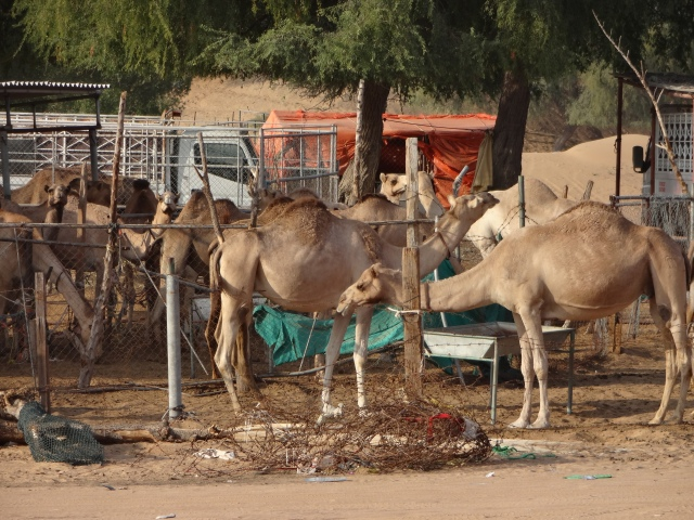 Here are the race camels...