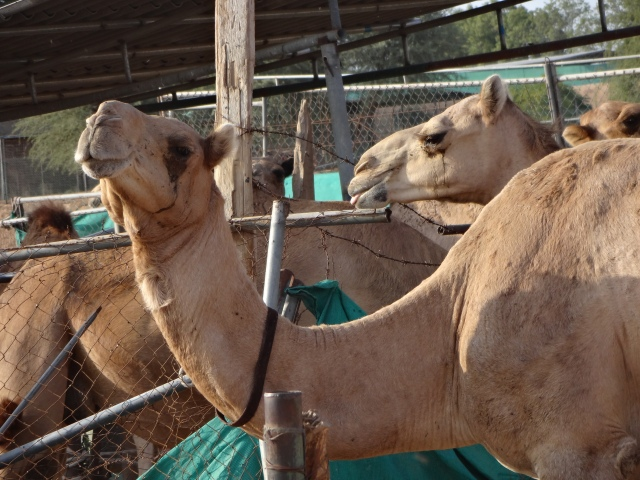 Apparently the camels are ridden by robot jockeys during the race...no, I'm not making it up!